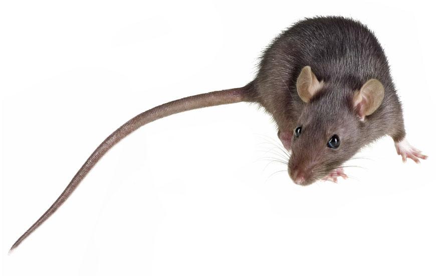Rosegadors - Centric Plagues el teu exterminador de rates i ratolins