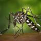 Moquits Tigre - Aedes Albopictus